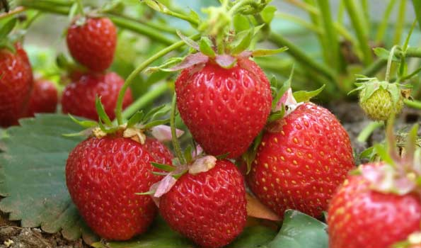 Strawberries from Fine Fruits Club