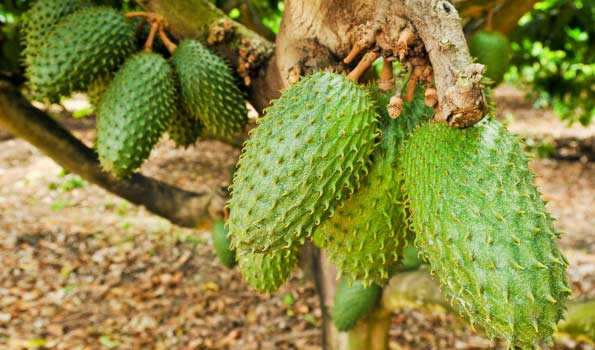 Soursop (graviola, guanábana) from Fine Fruits Club