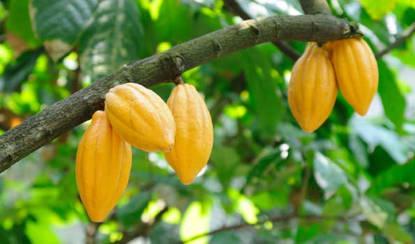 Cocoa fruit from Fine Fruits Club