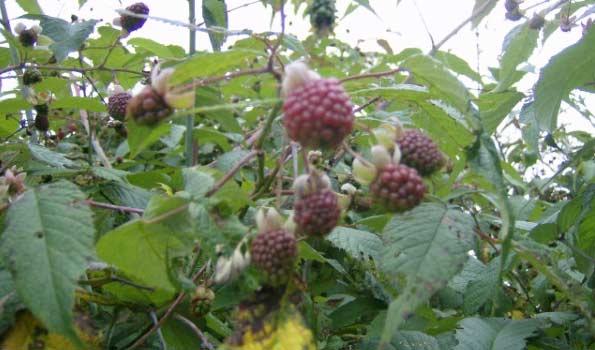 Andean blackberry (mulberry, mora) from Fine Fruits Club